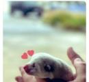 【画像】秋田犬の子犬、たった1年でとんでもない大きさに成長する