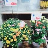 『菊の鉢もいろいろあります!』の画像