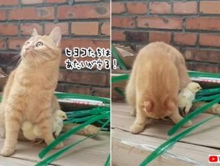 「私の下に隠れて!」ヒヨコを全力で守ろうとする猫