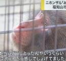 脱走した猪ロデオ芸の猿「みわ」発見    畑の捕獲用おりで