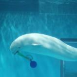 『【徒然写真館】No.122 水族館のシロイルカ』の画像
