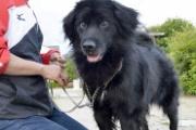 【犬】挑戦11回!みごと災害救助犬に 被災地生まれの雑種「じゃがいも」