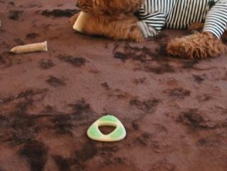 トイプードルのためにラグを敷く。