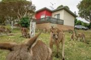 【悲報】オーストラリアでカンガルーが大繁殖→豪国民の大半「コロセ!コロセ!コロセ!」