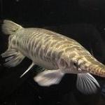 巨大肉食魚「アリゲーターガー」捕獲できず1m超に