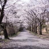 太平山遊覧道路 桜のトンネル 桜の舞い散る中を駆け抜ける!(動画付き)