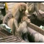 【動画】必死の救出劇! 感電した猿を仲間が懸命救助