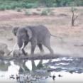 子サイを守ため、巨大なゾウに勝負を挑む母親サイ