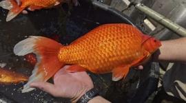 【米国】ミネアポリス郊外で巨大金魚が急増して問題化…体長46センチ&重さ1・8キロ級が続々