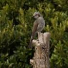 『鵯(ヒヨドリ) ~庭に来る野鳥~』の画像