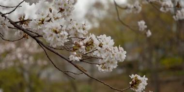 今年撮った桜の写真あげて