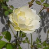『バラが咲き始めました & もうすぐ収穫の秋』の画像