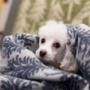 【トイプードルパピー犬】今日病院に行ってきました。くぅちゃんの今朝の様子