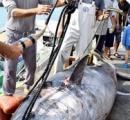 漁師もびっくり 重さ413キロの巨大クロマグロ 石垣漁港