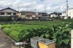 ひまわり畑の仕掛け人が今度は収穫体験するみたい!〜さつま芋と里芋と落花生が天野が原で成長中〜