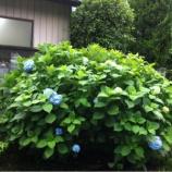 『戸田公園駅北東の万葉の花の道に紫陽花が咲き始めました』の画像
