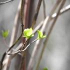 『春・芽吹き(天狗山)』の画像