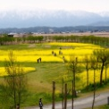 福島潟 菜の花