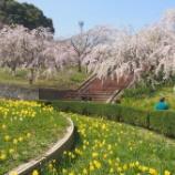 『桜の名所を訪ねて2015』の画像