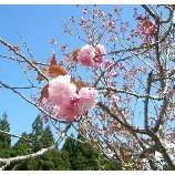 『ようやく八重桜が・・』の画像