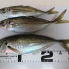 『2019年2月2日 南あわじメガフロートでサビキ釣り』の画像