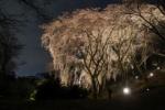 植物園の『枝垂れ桜のライトアップ』は3/31までになってます!