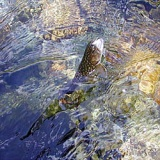 大門川千ヶ滝下流で良型が2005年の大門川、川俣川のサムネイル