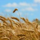 『毒麦を抜く、けれども良い麦、種まで取り去らない方が大事だよね。』の画像