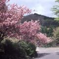 5月初旬 水仙・石楠花・桜
