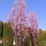 『春の西企画 〜桃の花や花壇や看板〜』の画像