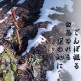 『ごんぼ掘り』の画像