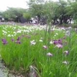 『今日の花 14 【花菖蒲 ハナショウブ】』の画像