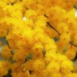 『スナップショット「凱風快晴」(9)ミモザアカシアの春』の画像
