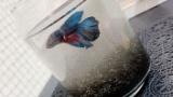 さっき熱帯魚のベタを買ってきた(※画像あり)