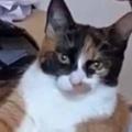 【ネコ】 ゲームをしていたら猫が腕でくつろぎだした。もっとこっち♪ → 前足でこうします…