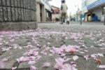 交野市駅前にブワーっと落ちてるピンク色の正体とは?