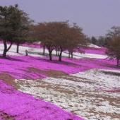 太田市北部運動公園 おおた芝桜まつり カラフルな絨毯のような芝桜