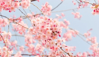 春がきたぞ!全国から寄せられる極上の桜の写真をご覧ください