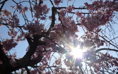 『桜 開花』の画像