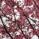 『『カードキャプターさくら』の『さくらコール』と連動ッ!千代田区で花見をしてきたでござるッ!』の画像