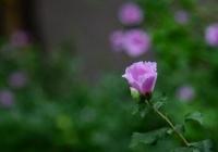 もう好きに滅んでくれ ~ 【はぁ?】旭日旗は韓国の国花を模して作られた?韓国で「国花を代えよう」の声が上がる理由