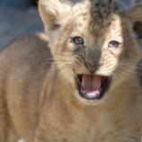 『バーバリライオンの赤ちゃん誕生』の画像
