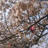 『春です。桜です。新年度がスタートしました!』の画像