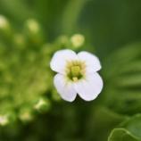『緑砦館物語(55)クレソンの花』の画像