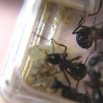 shigeの蟻飼育