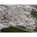 『桜が満開です』の画像
