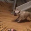 イヌが部屋の中を走り出す。障害物をよけて、ギュイィーン♪ → 犬はこうなる…
