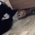 子ネコはベッドの下に隠れて狙っていた。犬は赤ちゃんをガブガブする → なかよしな異種兄弟はんな感じ…