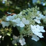 娑羅樹(ナツツバキ)の写真