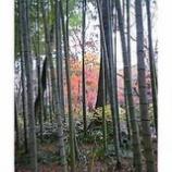 『竹林の後方は鮮やかな赤』の画像